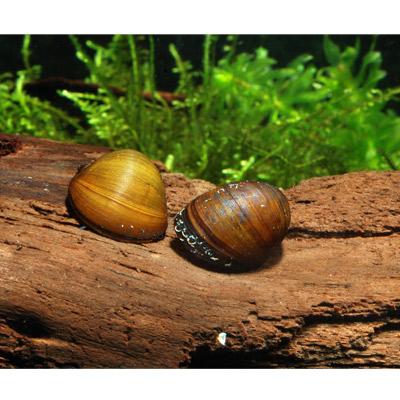 escargots mangeurs d algues neritina pulligera lot de 5 escargots of zooplus fr be 134461 0