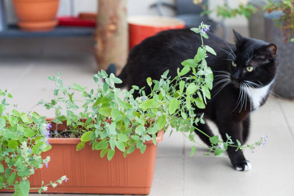 menthe à chat catnip