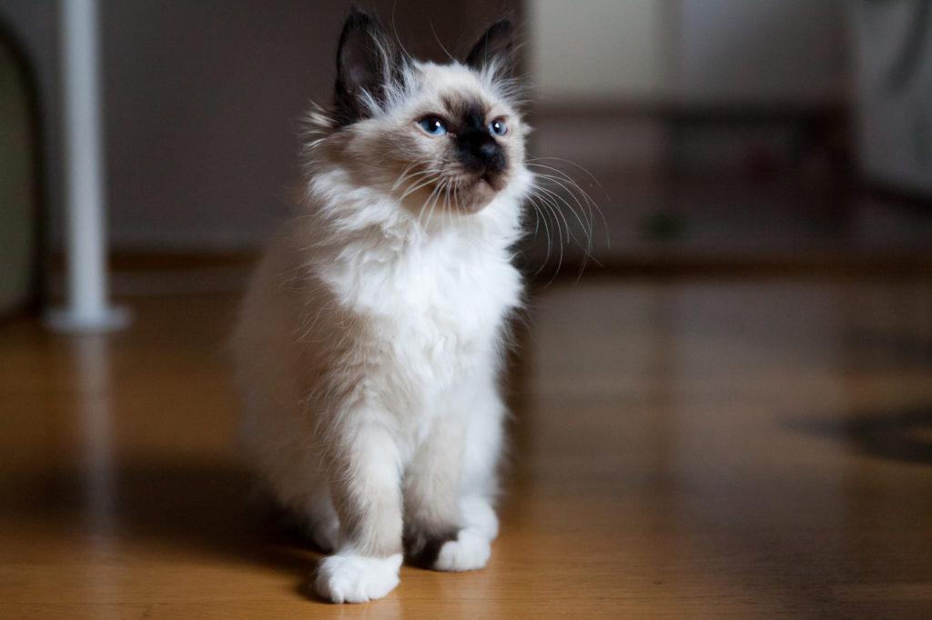 chaton sacré de birmanie