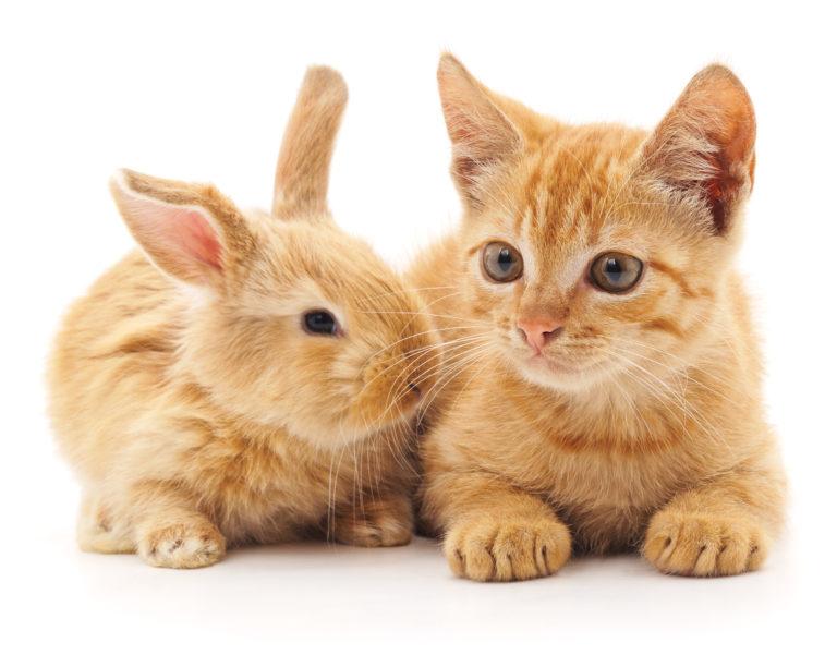 chat roux et lapin côte à côte