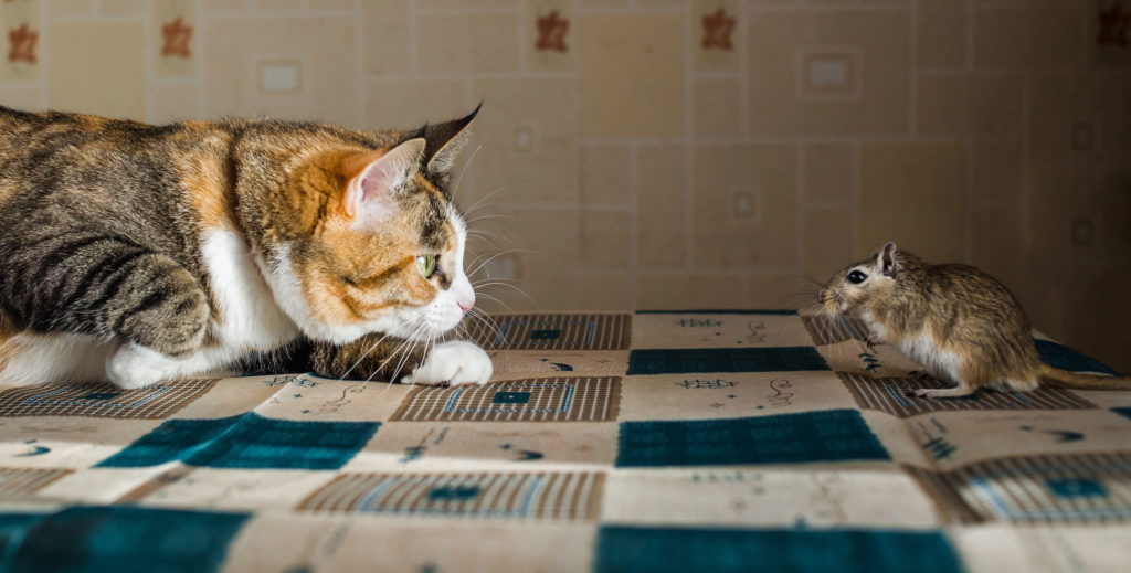 cohabitation entre chat et rongeur