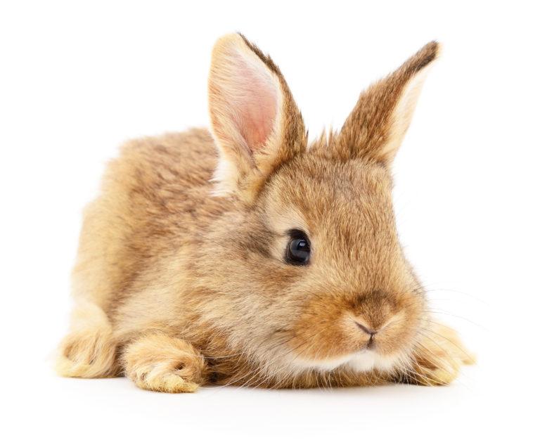 adopter un lapin
