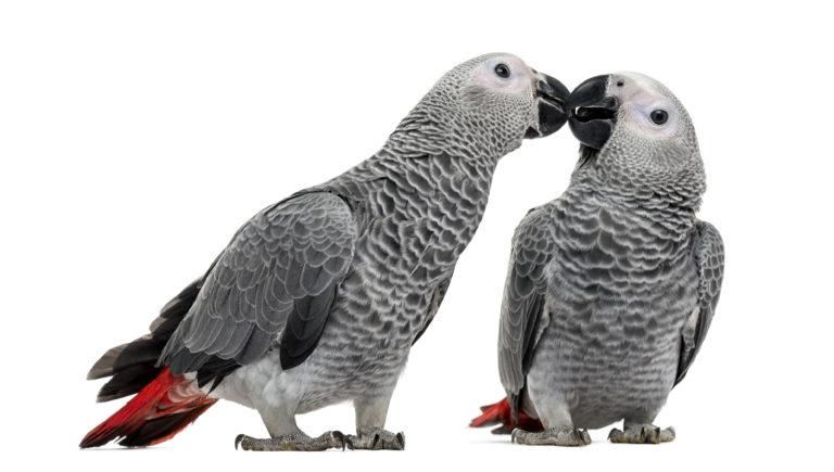 pourquoi adopter un couple d'oiseaux