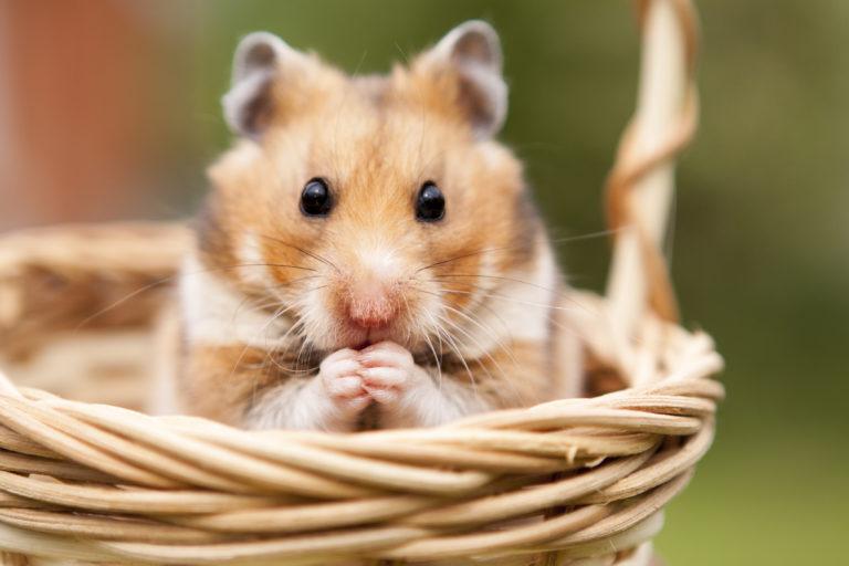 cris du hamster