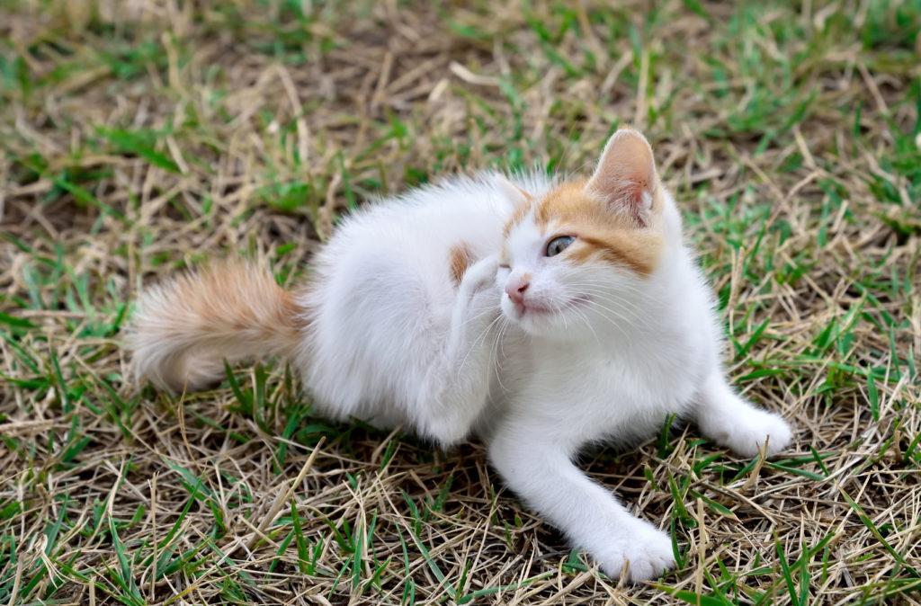 Chaton assis dans l'herbe en train de se gratter la tête avec sa patte arrière
