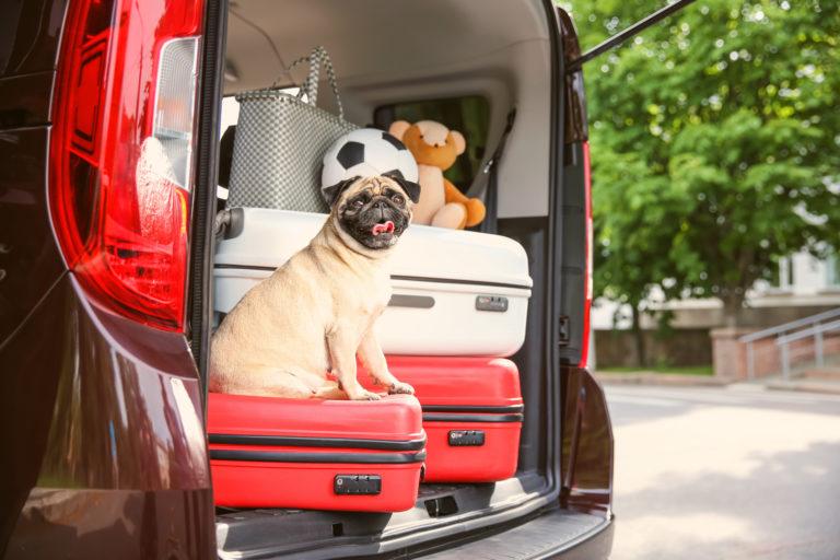 Chien assis sur une valise dans le coffre ouvert de la voiture