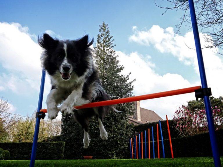 l'agility pour chien