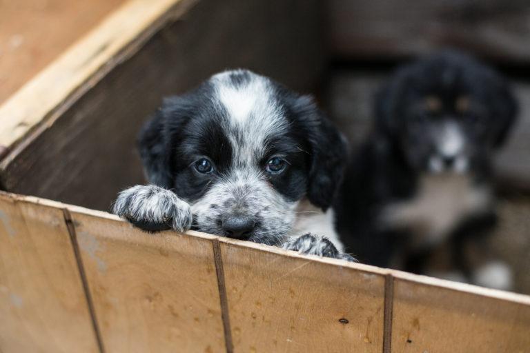 chiot à adopter dans un refuge
