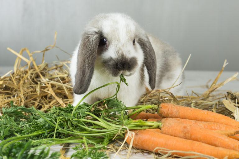 lapin bélier entouré de carottes et de foin