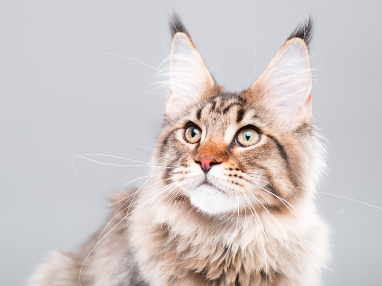 l'âge des chats