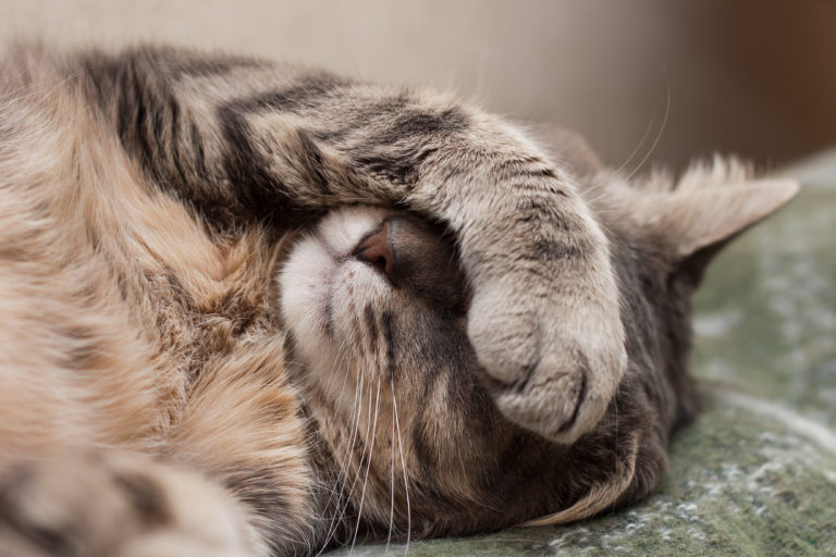 le coryza du chat ou rhume du chat