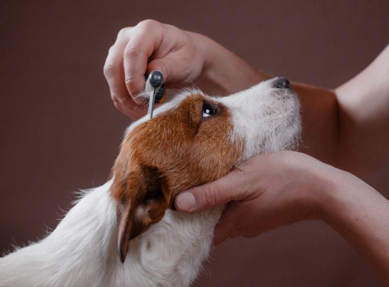 un Jack Russel Terrier se fait peigner par son maître