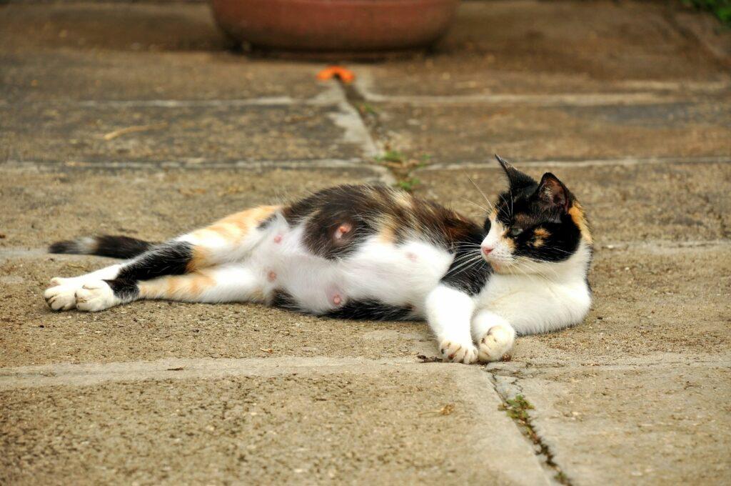 les mamelles d'une chatte