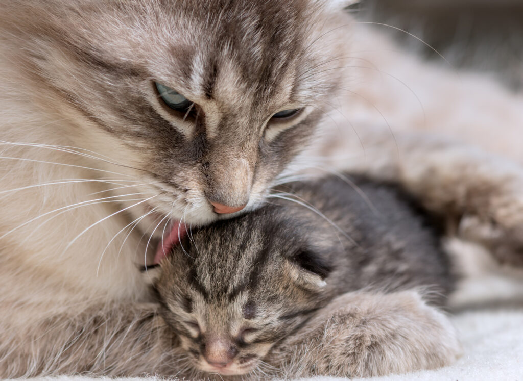 une chatte nettoie son chaton