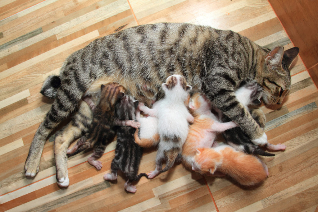 gestation du chat