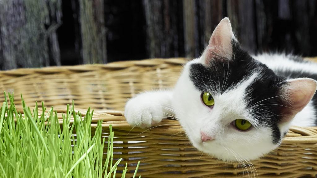 faire pousser herbe à chat