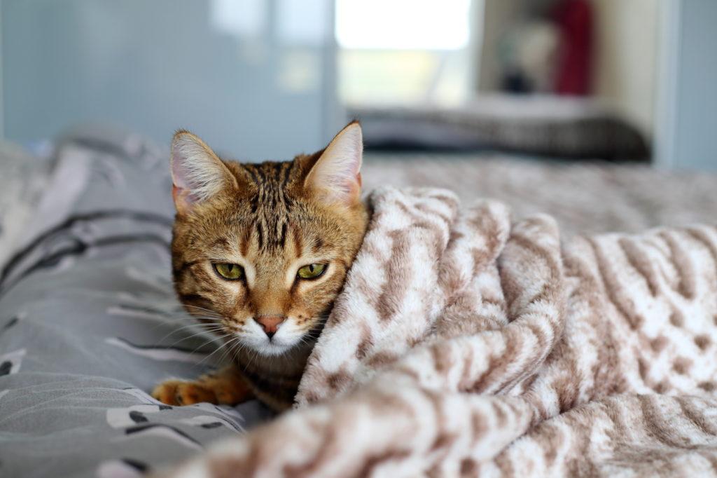 coryza du chat rhume du chat