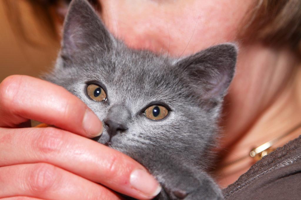 chaton chartreux