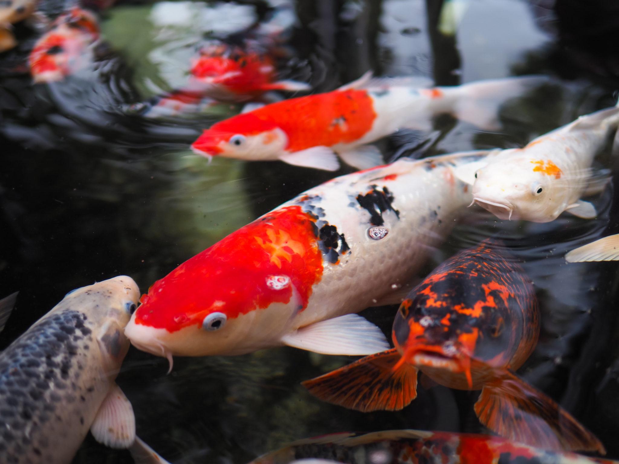 Bien nourrir les poissons d tang magazine zooplus for Traitement bassin poisson