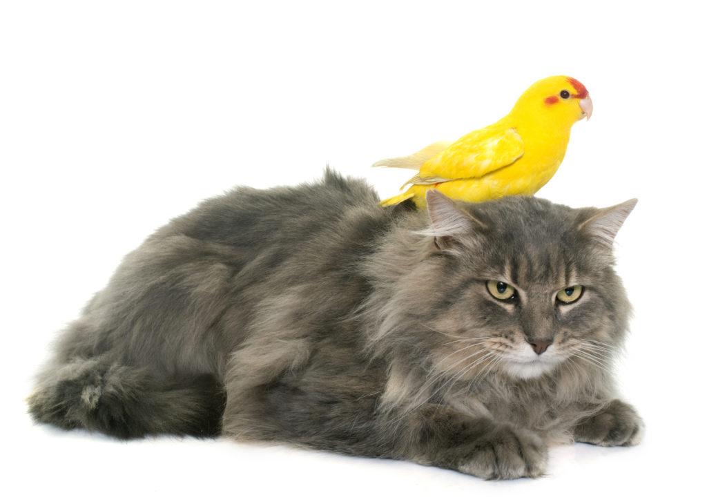 cohabitation entre chat et oiseau