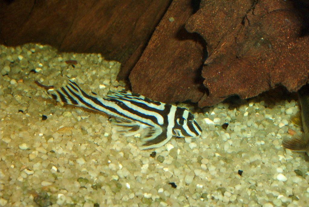 pléco zébré Hypancistrus Zebra