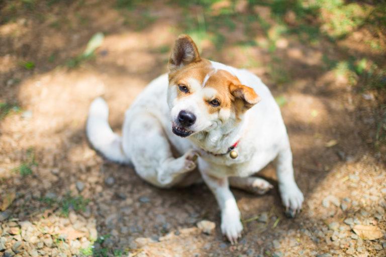 les allergies chez le chien : un chien qui se gratte