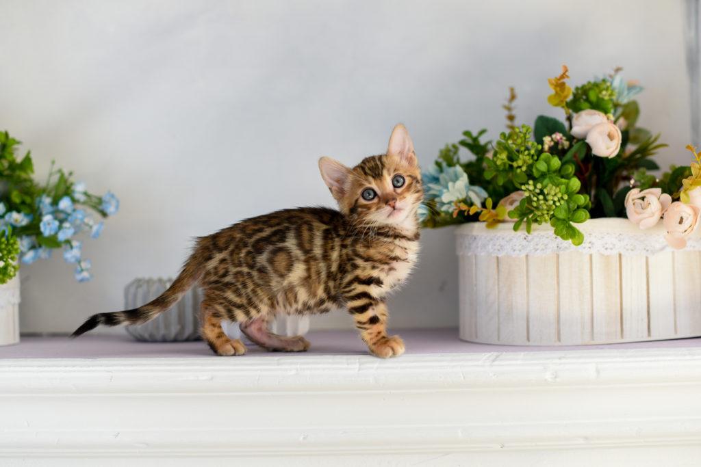 chaton bengal aux yeux bleus vu de profil entre deux pots de fleurs
