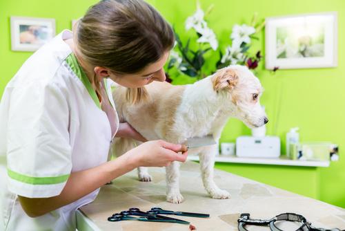 une toiletteuse peigne un chien avec un peigne à puces