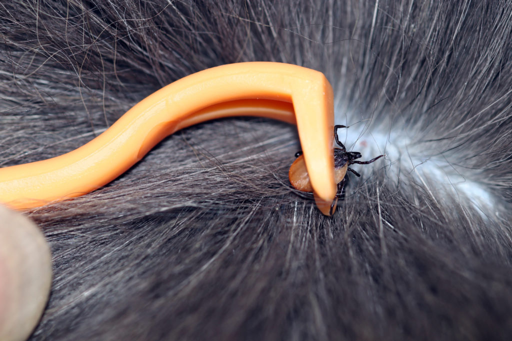 puces et tiques chez le chien : crochet anti-tiques