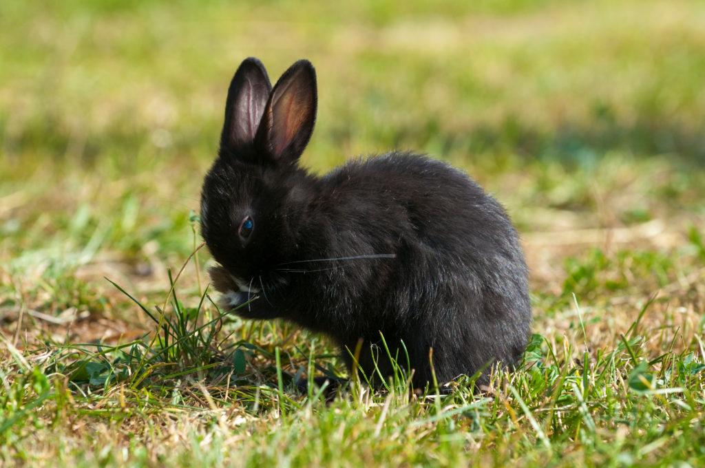 s'occuper d'un lapin nain