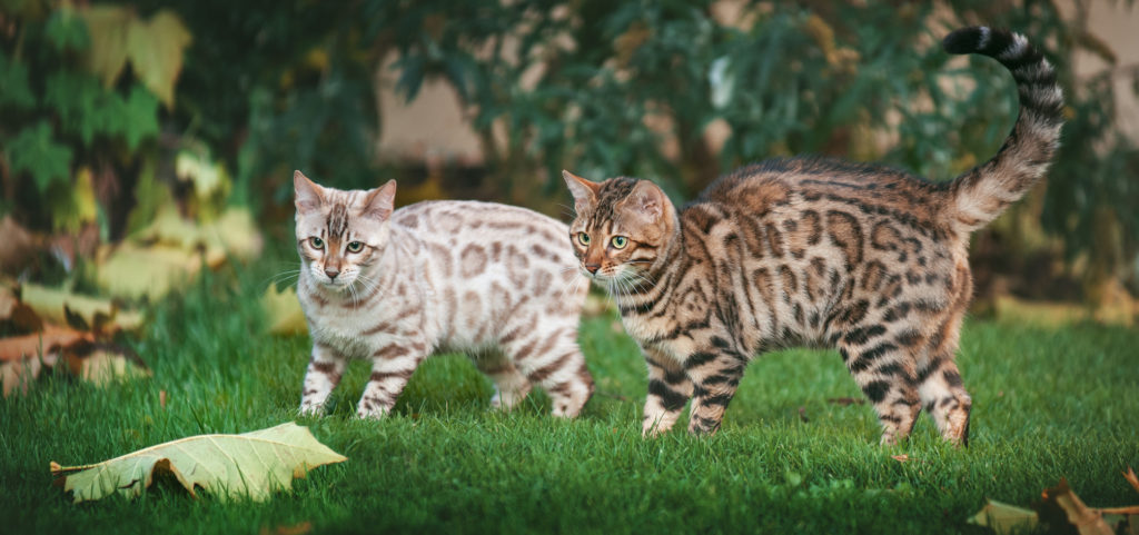 deux chats bengal