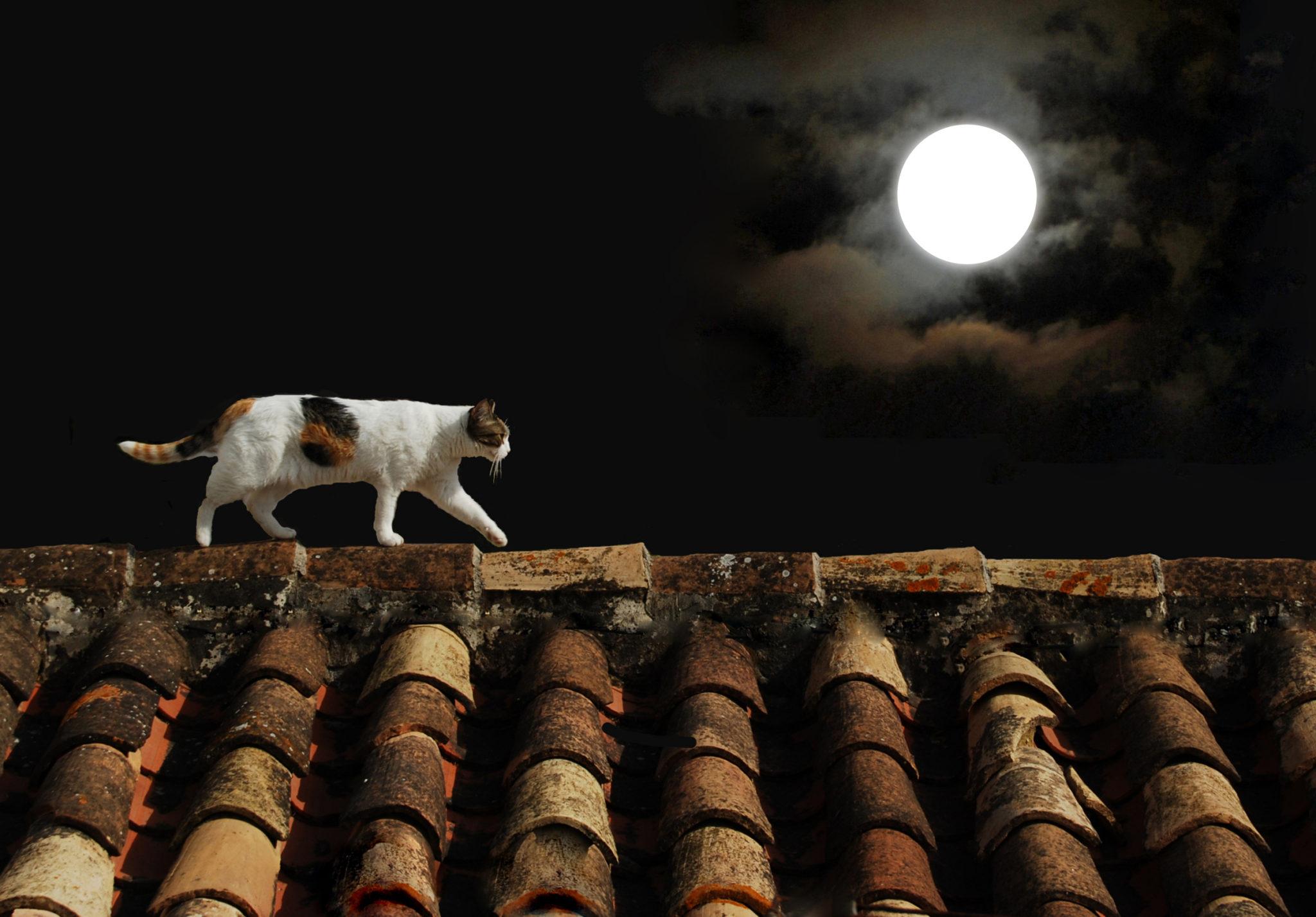 chat d'extérieur se promenant sur un toit, de nuit