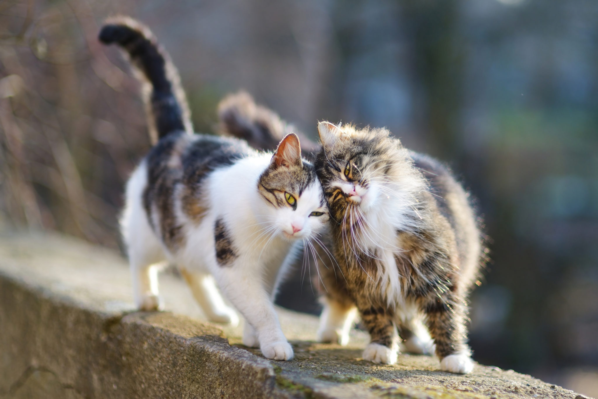 deux chats marchent côte à côte en se câlinant