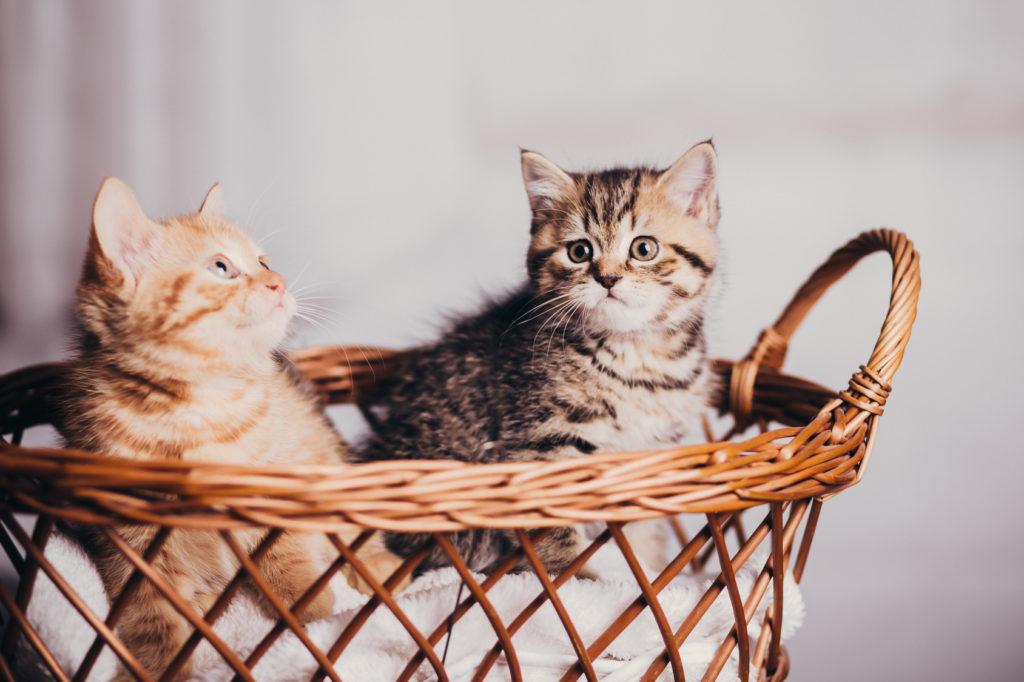 déterminer le sexe d'un chaton