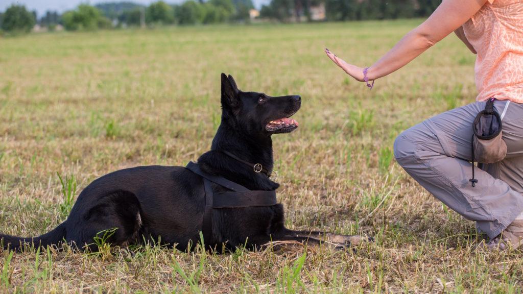 obéissance canine dressage pour chien