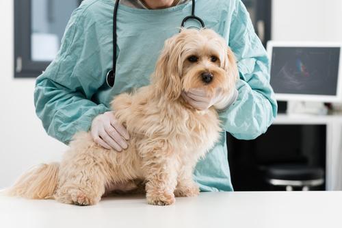 Les maladies infectieuses chez le chien