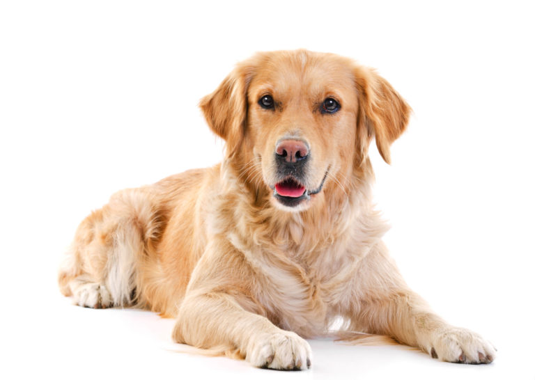 nourrir son Golden Retriever