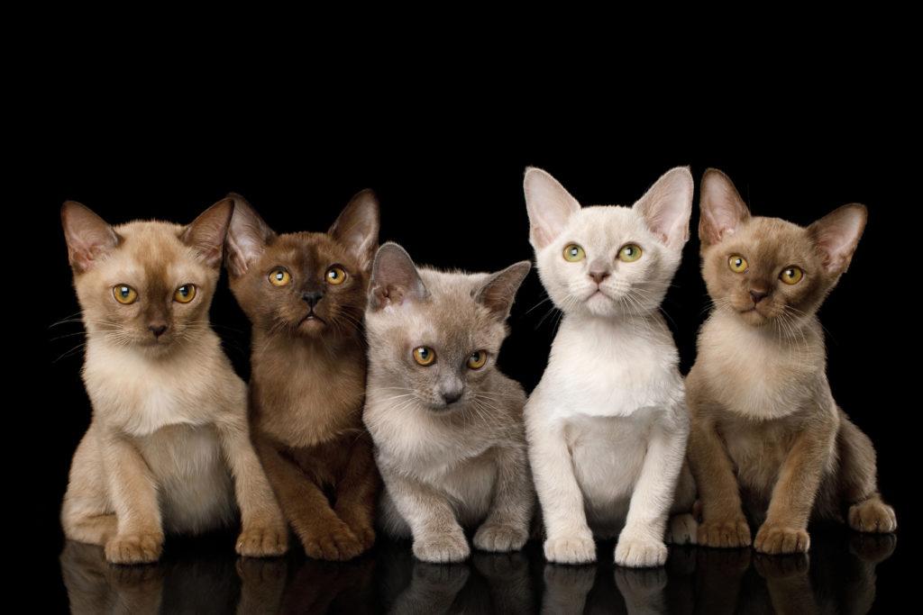 chatons Burmese de toutes les couleurs