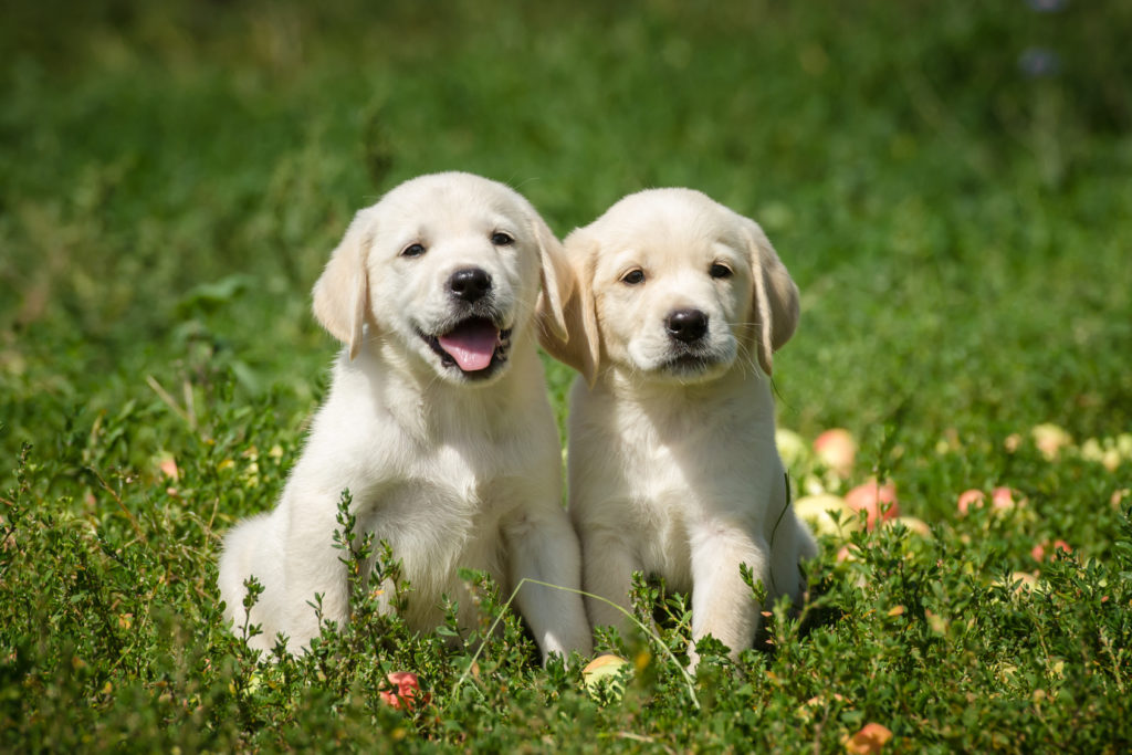 chiots labrador retriever