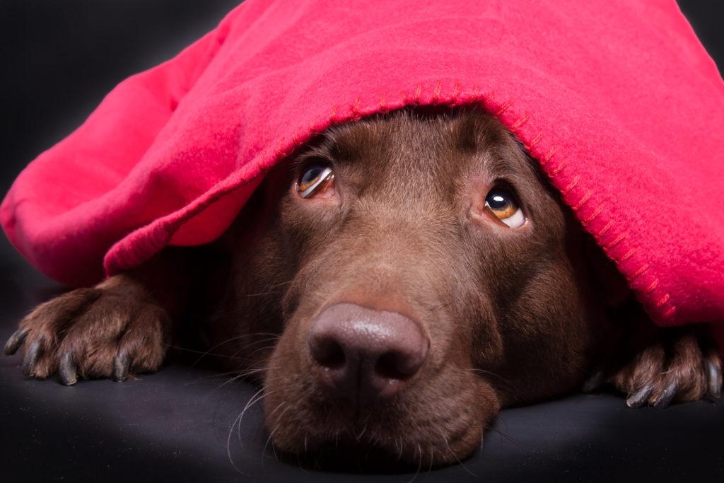 chien peureux sous un plaid