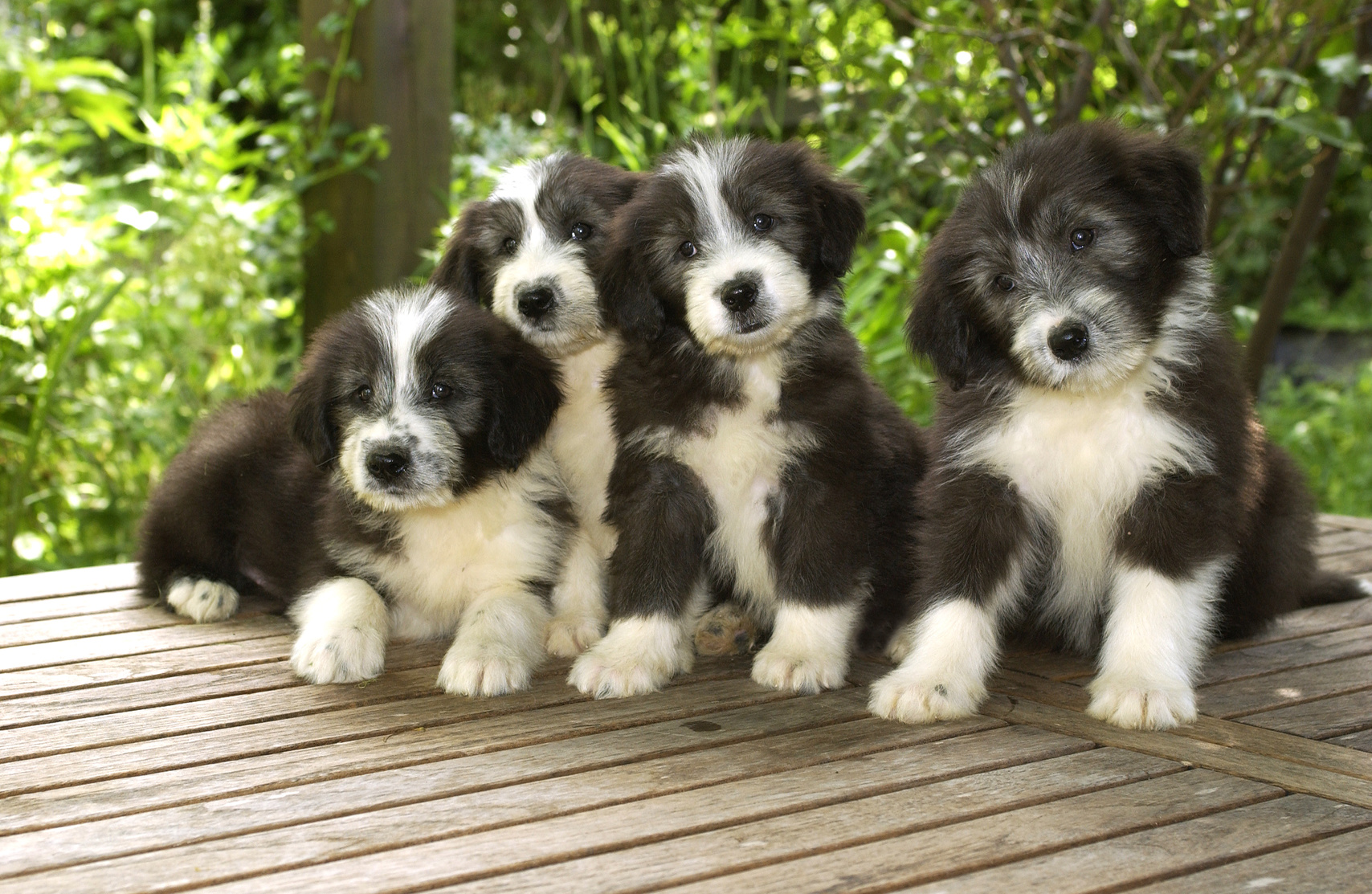 chiots Bearded Collie