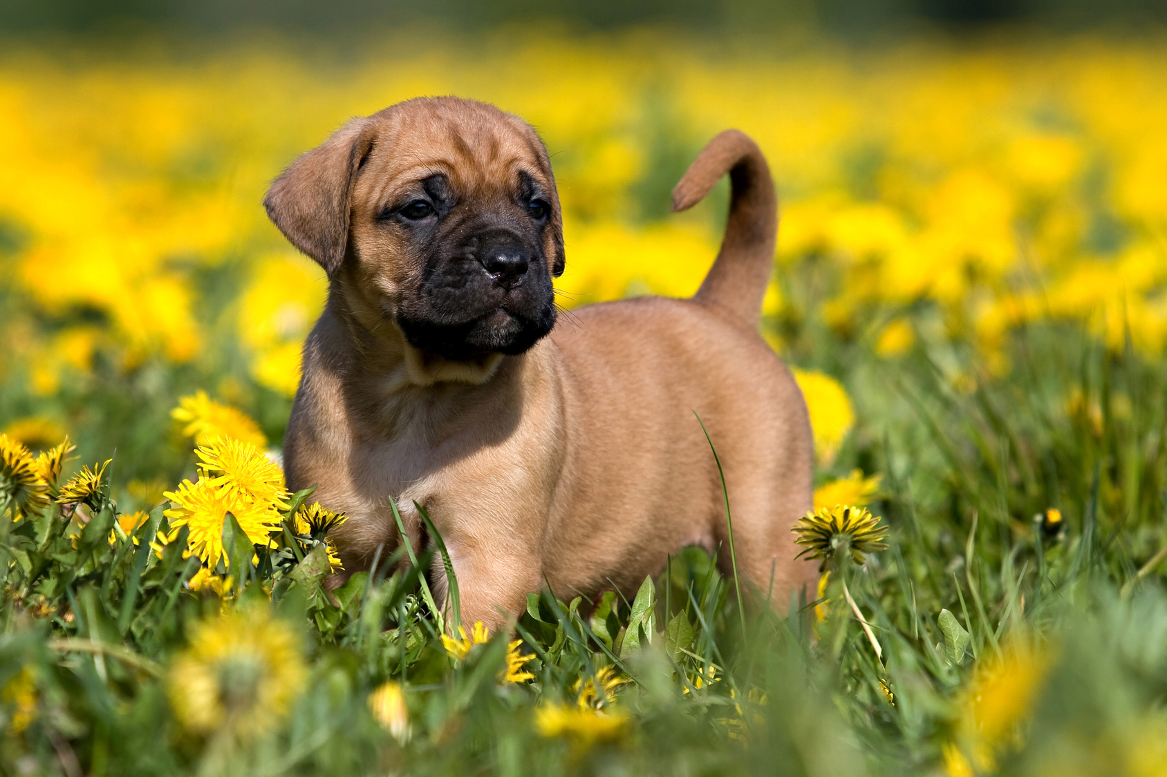 chiot Dogue des Canaries