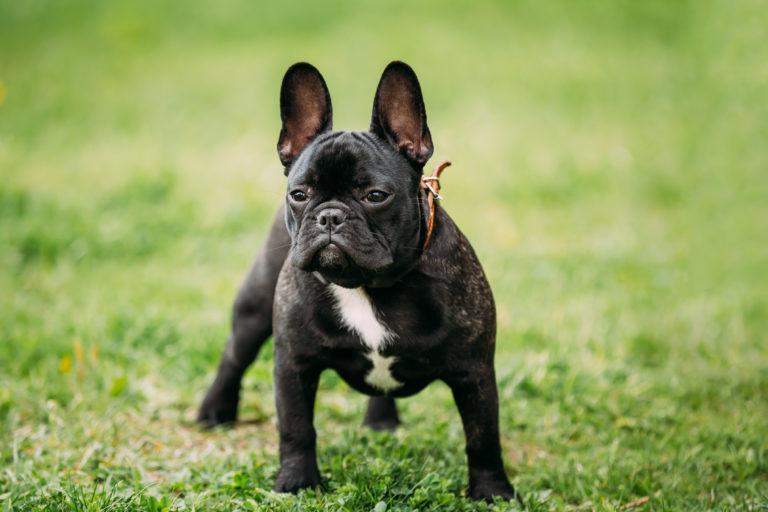 bulldog français