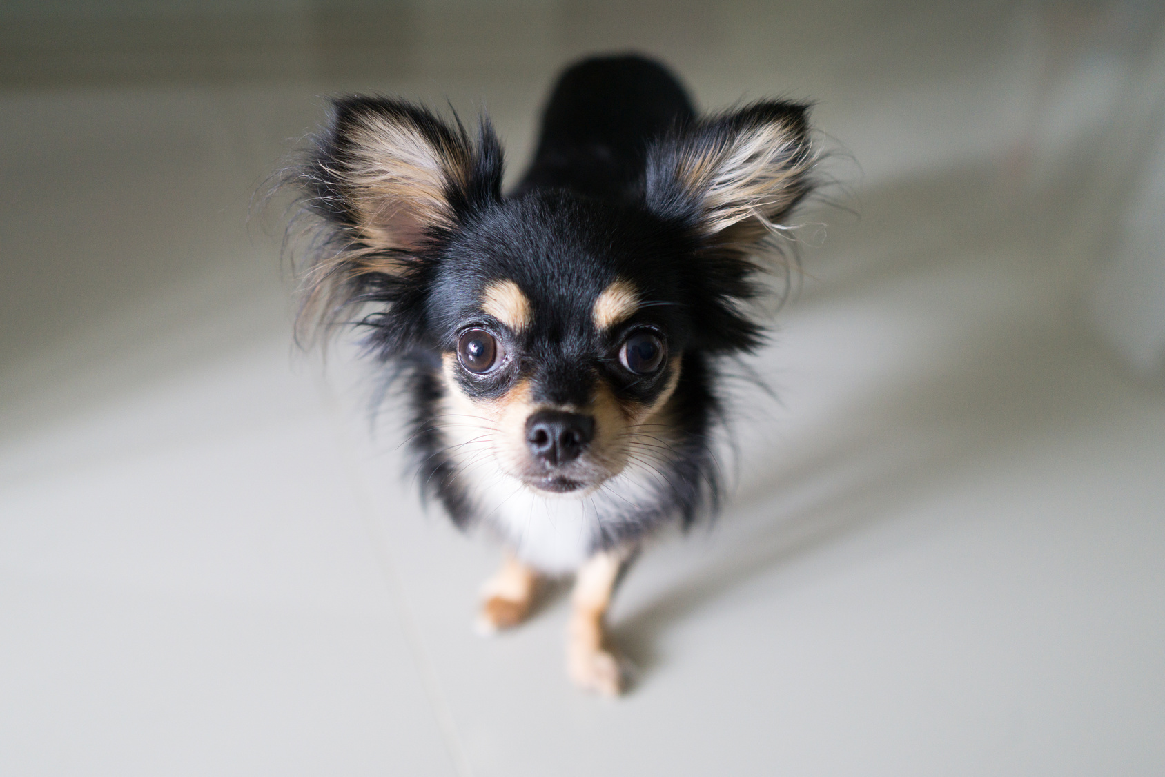 Chihuahua noir