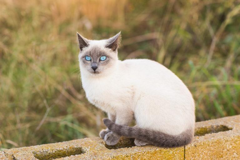 Chat siamois assis sur un muret dans un jardin