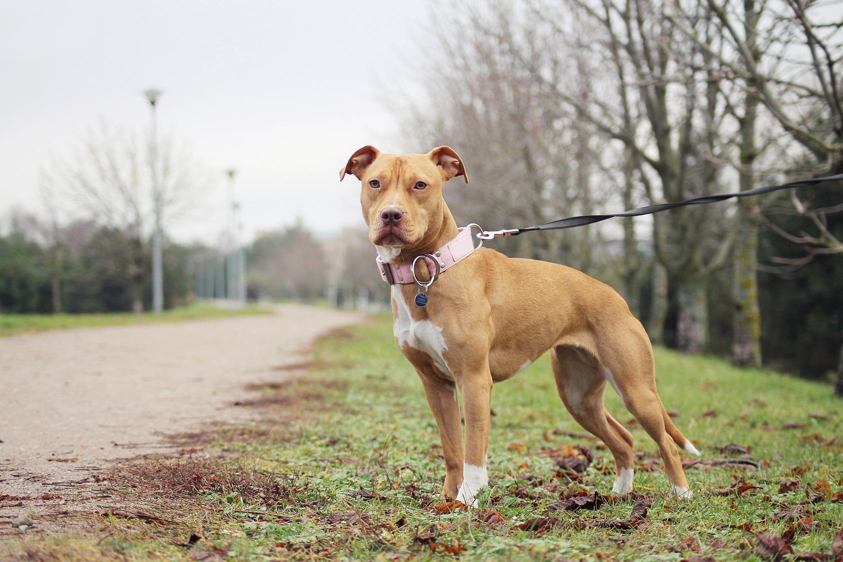 American Pitbull Terrier Pitbull Caracteristiques Magazine Zooplus