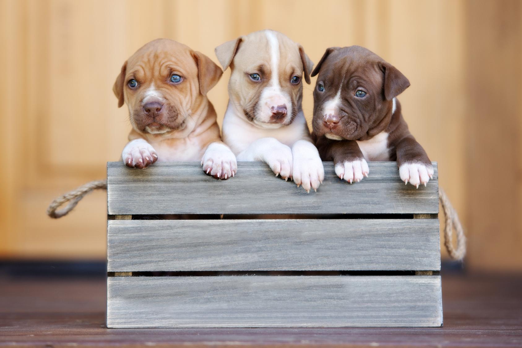 chiots american pitbull terrier