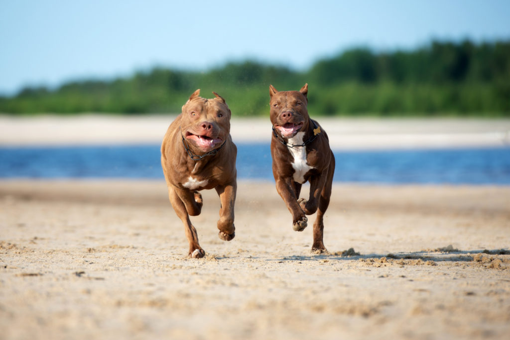 American Pitbull Terrier (Pitbull) : caractère, éducation et