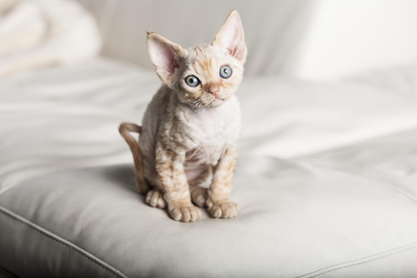 chaton Devon Rex