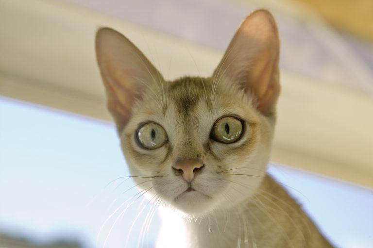 portait de chat singapura